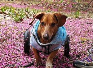 Cadeiras de Rodas para Cães-Astolfo