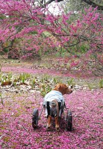 Cadeiras de Rodas Para Cães - Astolfo 2