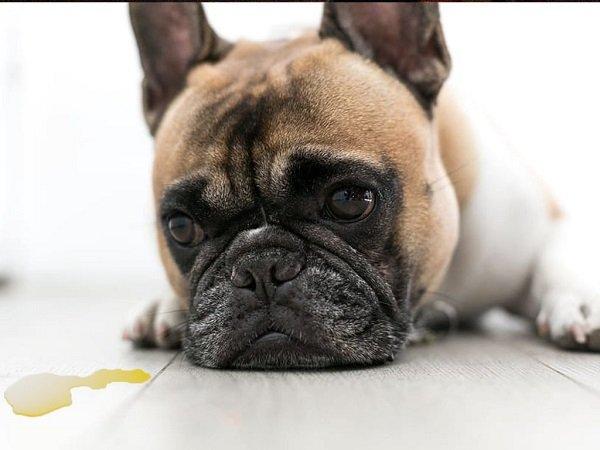 Fraldas Para Cães: Qual a Melhor em 2020?