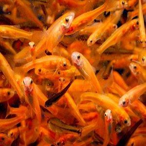 peixes para alimentar outros peixes