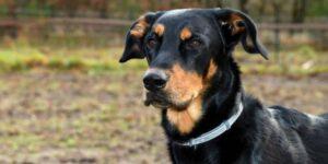 coleira-antipulgas-para-cachorros-750x375
