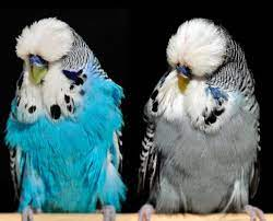 como-surgiu-o-periquito-ingles