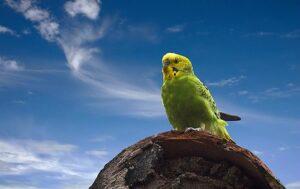 periquito-australiano
