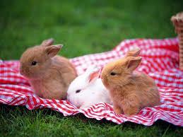 racas-de-coelhos-anoes
